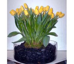 Yellow Tulips and Black River Rocks