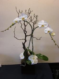 Santa Monica Orchids White Phale with Manzanita